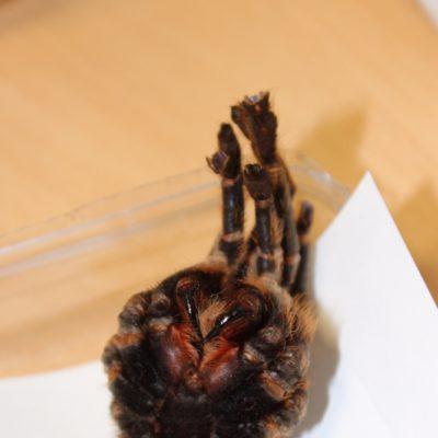 Eine tote Vogelspinne, Hier sieht man gut die Kieferzangen.