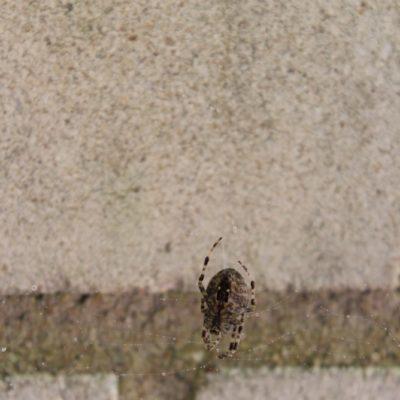 Kreuzspinnen bauen Radnetze