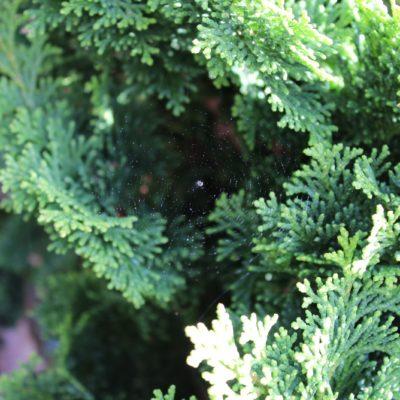 Eine winzige Radnetzspinne. Die muss sich noch oft häuten bis sie groß ist.